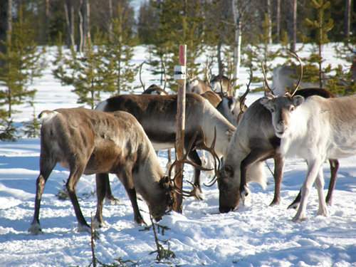 Reindeer feeding. Picture by Jouni Puoskari
